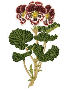 Pelargonium Auguste Miellez