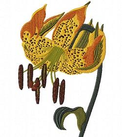 Lilium michauxii Poiret