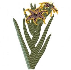 Ferraria undulata